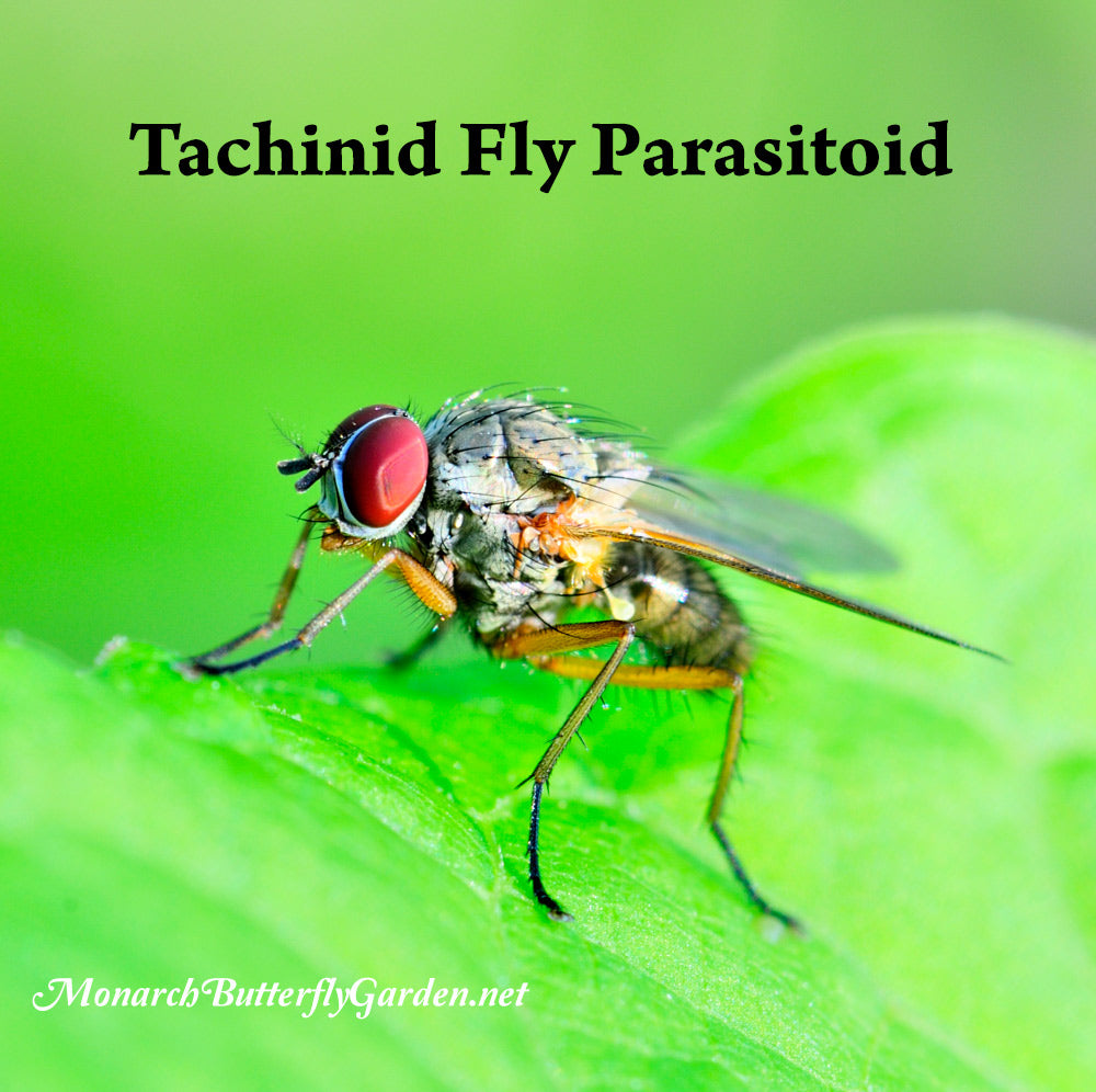 Tachinid Fly Parasitoids lay their eggs on monarch caterpillars. The maggots burrow inside the caterpillar and start eating it alive, slowly killing it. Discover how raising monarchs can help them avoid this fate...