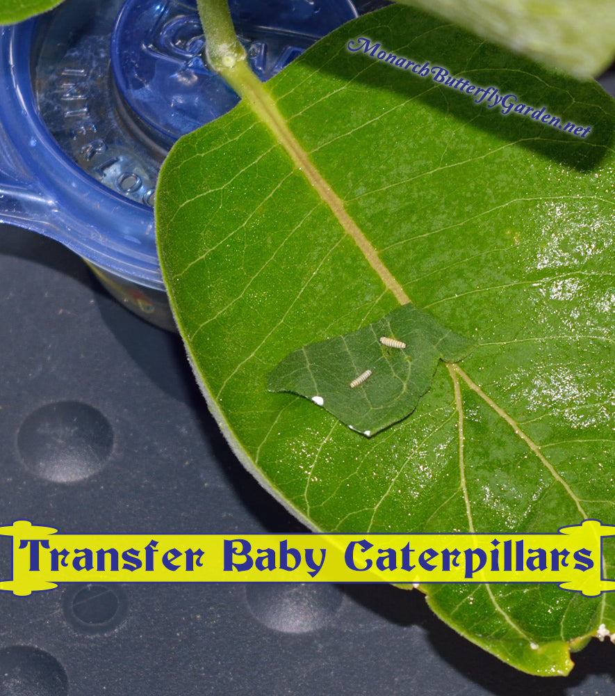 If you had baby monarch caterpillars hatch on a single milkweed leaf, you can transfer them to milkweed cuttings or potted plants by cutting a small leaf piece and placing it on the new plants.