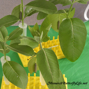 Keep Milkweed Cuttings Fresh for munching monarch caterpillars and space them out  with large floral tubes and fitted short peg racks.