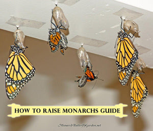 Learn how to raise more monarch butterflies with less effort