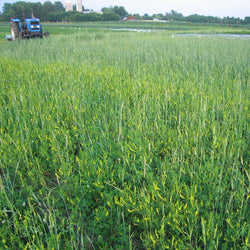 Organic Cover Crops