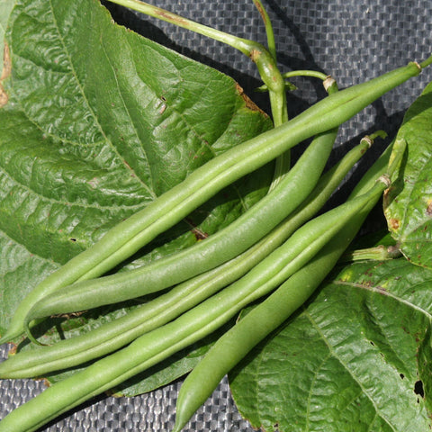 Grenoble Green Bush Bean