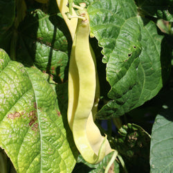 Gold Marie Yellow Pole Bean