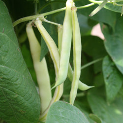 Grand-Maman Dinel Yellow Pole Bean