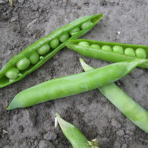 Green Arrow Shelling Pea