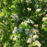 Buckwheat, Common - Cover Crop