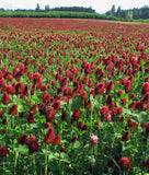 Crimson Clover,  common, certified organic - Cover Crop