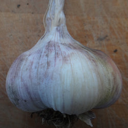 Italian Red Artichoke Garlic Bulbs