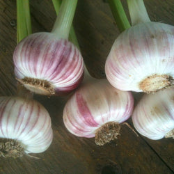 Siberian Marbled Purple Stripe Garlic Bulbs