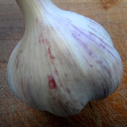 Chesnok Red Purple Stripe Garlic Bulbs