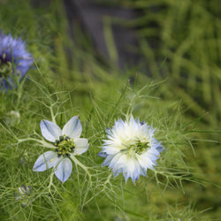 Love in the Mist Nigella