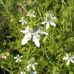 Nigelle / Nigella - Love in a Mist