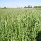 Fall Rye, certified organic  - Cover Crop