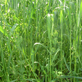 Oats And Peas Mix, certified organic - Cover Crop