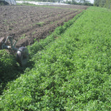 Alfalfa, certified organic - Cover Crop