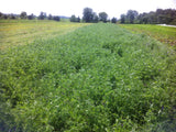 Hairy Vetch, certified organic - Cover Crop