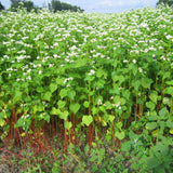 Buckwheat, certified organic - Cover Crop