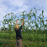 This photo of broom corn, a different sorghum strain, shows just how big sorghum can get.