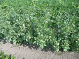 Fava bean, certified organic - Cover Crop