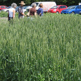 Spring wheat, AC Walton, certified organic - Cover Crop