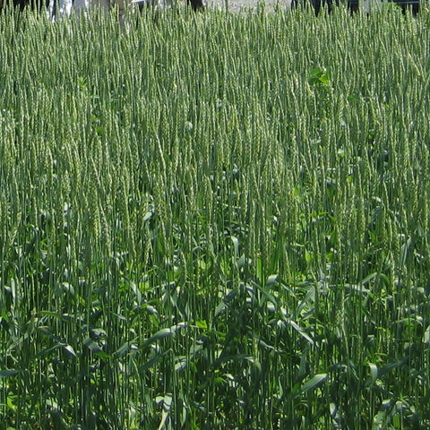Wheat, AC Walton, certified organic - Cover Crop