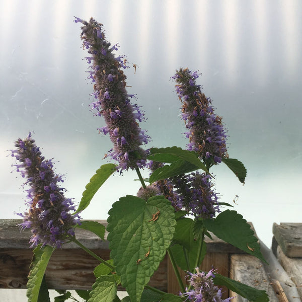 Agastache / Anise Hyssop