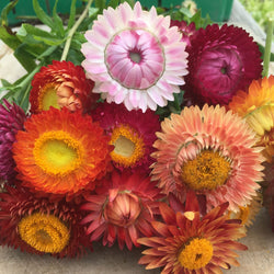 Mélange Immortelles / Strawflower Mix