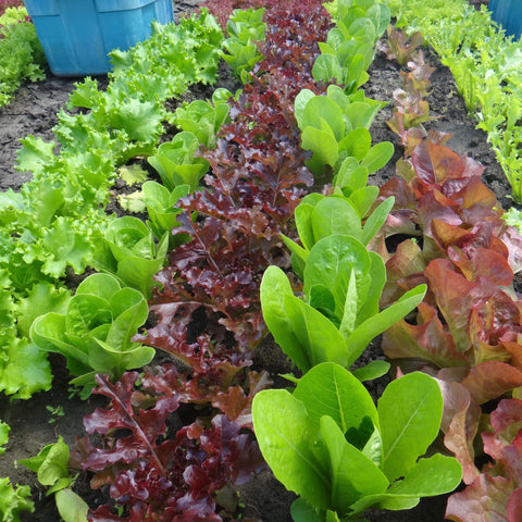Salad Mix Lettuce