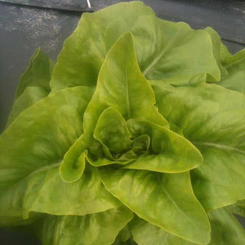 Green Deer Tongue Lettuce