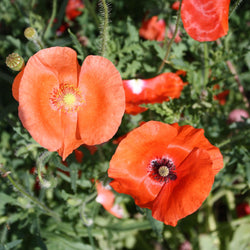 Corn Poppy Mix