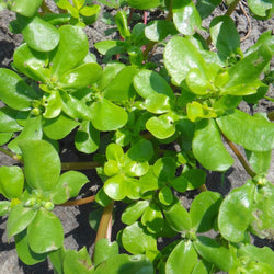 Pourpier Doré / Golden Purslane
