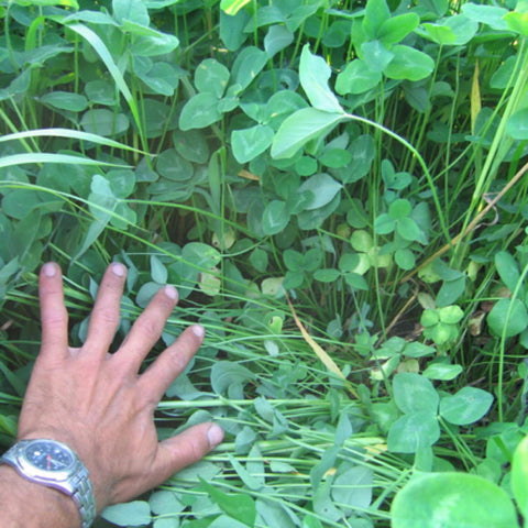 Red Clover, double cut, certified organic  - Cover Crop