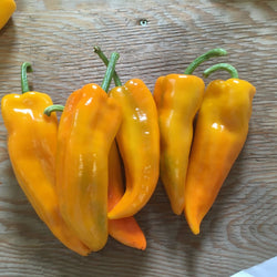 Poivron Doux / Sweet Pepper - Gatherer's Gold