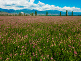 Sainfoin, certified organic - Cover Crop