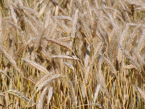 Triticale, spring, certified organic - Cover Crop