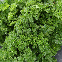 Persil Frisé / Curled Parsley
