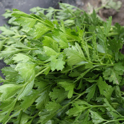 Persil Italien / Italian Parsley