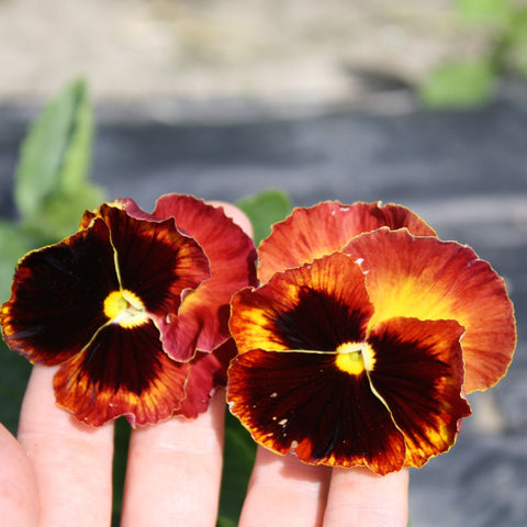 Swiss Mix Pansy