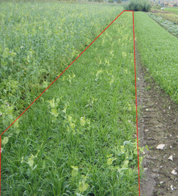 Winter wheat and peas mix, certified organic - cover crop