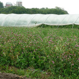Red Clover, double cut  - Cover Crop