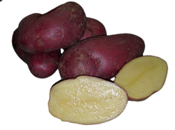 French Fingerling - seed potato / pomme de terre semence