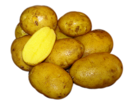 German Butterball - seed potato / pomme de terre semence
