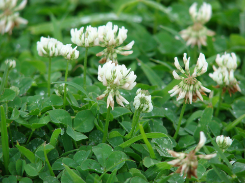White Clover, certified organic - Cover Crop