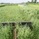 Oats, certified organic - Cover Crop