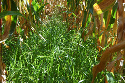 Italian ryegrass, certified organic - Cover Crop
