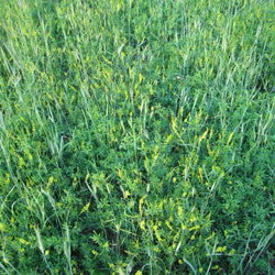 yellow blossom sweet clover flowering in mix with fall rye