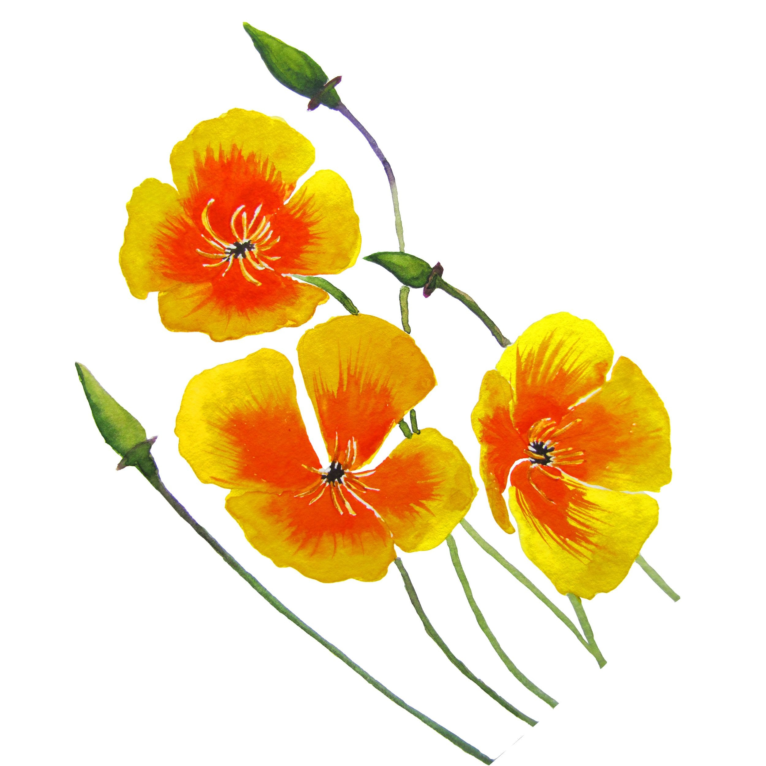 California Poppy Aerial Part Extract