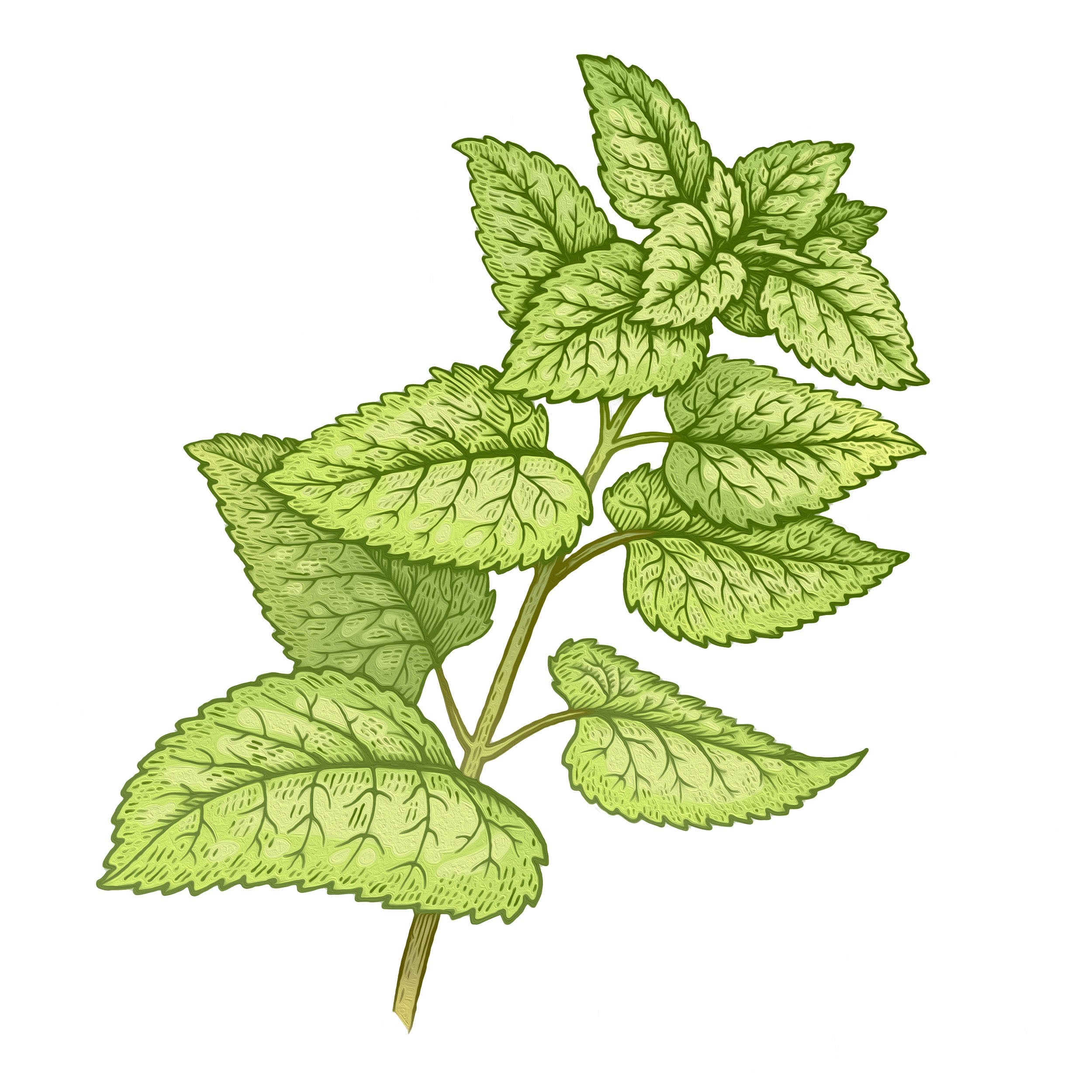 Lemon Balm Herb Extract (Melissa Officinalis)