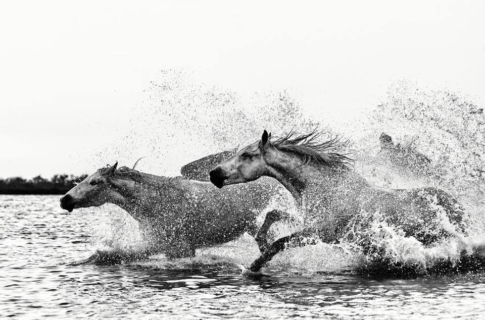 Wild Stallions Running Across Water Black and White by Wildlife Photographer Ejaz Khan