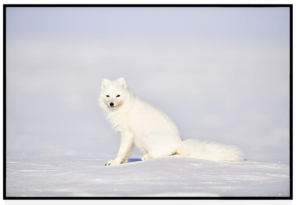 ARCTIC FOX PRINT | GAZE